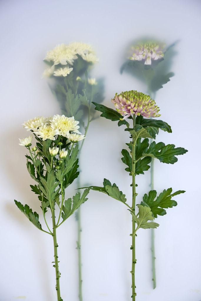 le-chrysantheme-5